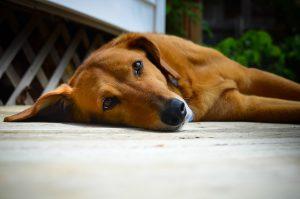 pup-lying-down